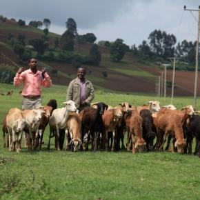 Achieving livestock geneticgains