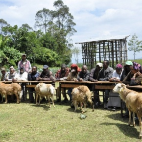 Scaling community-based sheep breeding for genetic improvement in Ethiopia
