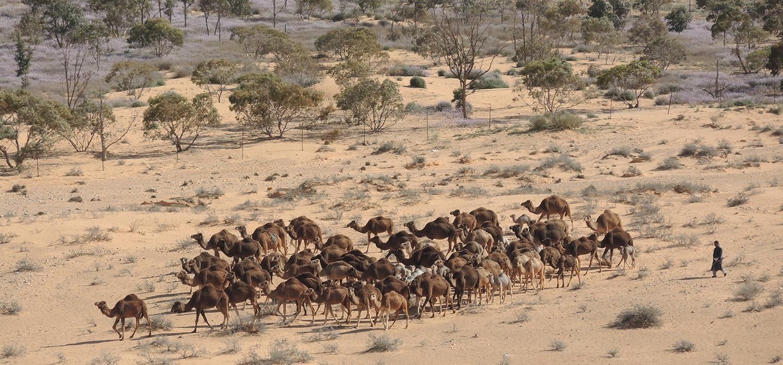 Rangelands Livestock CRP Camels