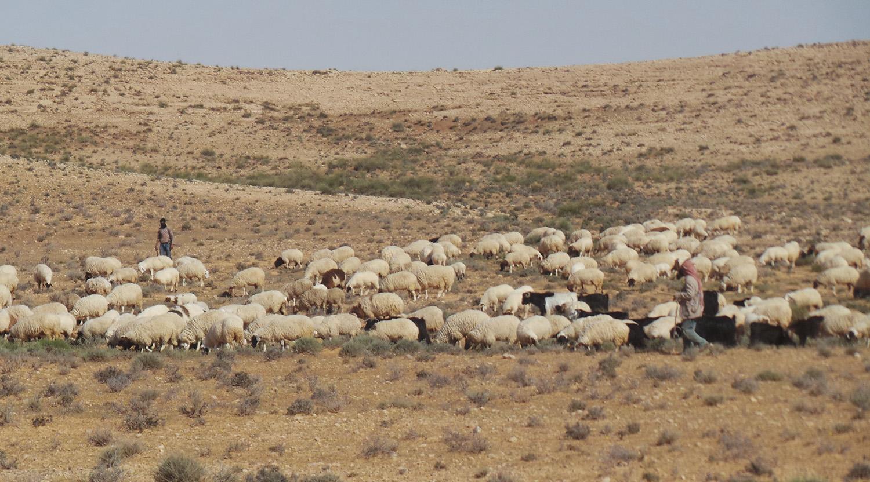 Rangelands Livestock CRP sheep