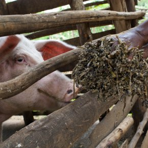 Uganda pig value chain project to develop environmentally-sustainable, gender-inclusive intervention packages